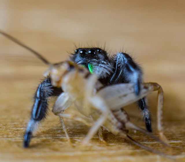 Male jumping spider known as Phidippus Genus with green fangs about to attack and eat a brown cricket