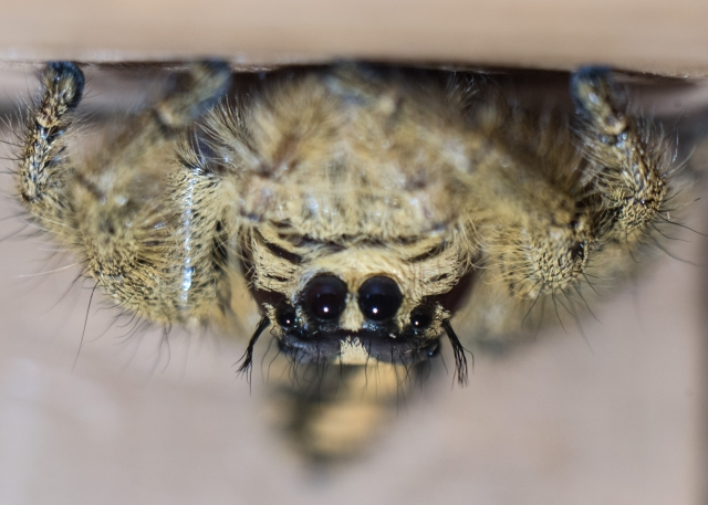 Hairy Light brown black female jumping spider phidippus genus is shown upside down and staring at you with four black eyes