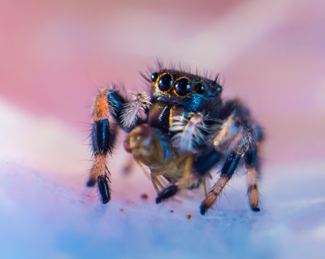 Female Jumping Spider known as Phidippus Genus in full size is sitting on a flat surface looking with four black eyes and cleaning its hairy legs