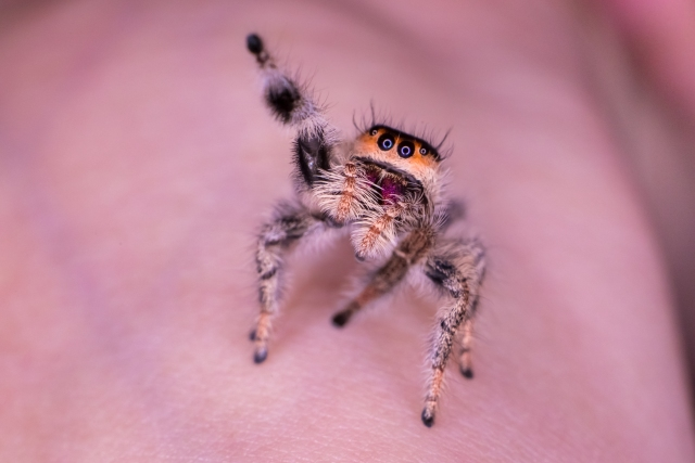 Black White Light brown Female jumping spider known as phidippus genus with four black blue eyes and purple colour fangs with one hairy leg up is staring at you and sniffing the air