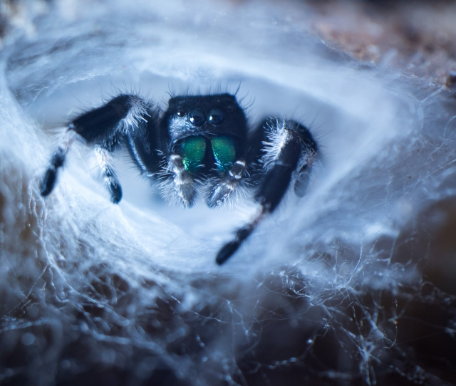 black and white male jumping spider known as phidippus genus with green fangs sitting in his own white spider net nest