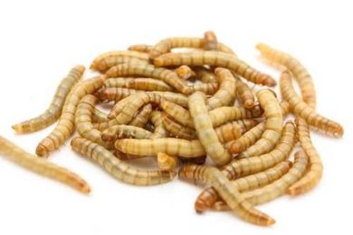 a bunch of light brown worms known as mealworms for jumping spiders