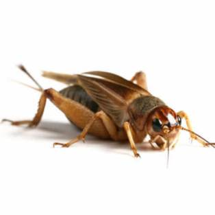 brown cricket with six legs is resting on a white background