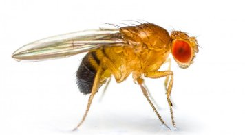 mustard yellow fly known as drosophila with see through wings and burnt orange colour eyes and dark brown booty standing on three legs sideways